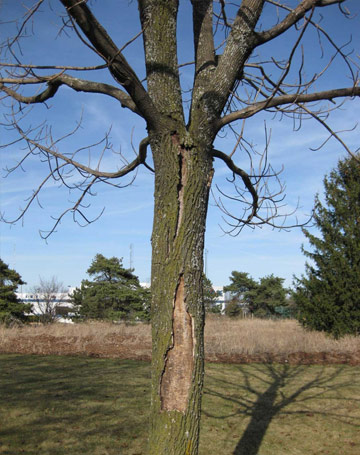 Photo of an ash tree