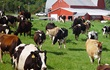 Farmhouse and cattle roaming