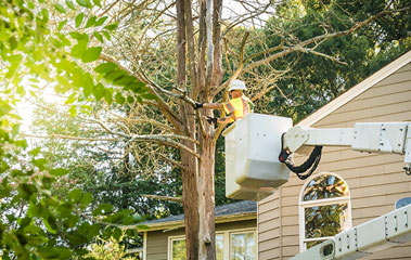 Person in bucket truck removing tree piece by piece